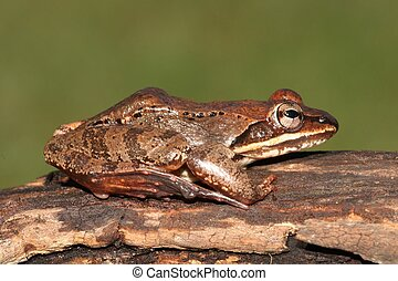 Male Wood Frog (Rana sylvatica)