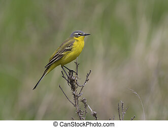 Male yellow wagtail sitting on a dead branch.