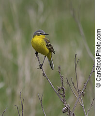 Male yellow wagtail sitting on a dead branch of grass.