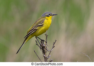 male yellow wagtail sitting on a dead branch