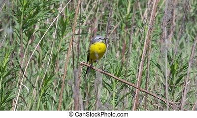 Yellow wagtail - male Yellow wagtail (Wagtail Motacilla...