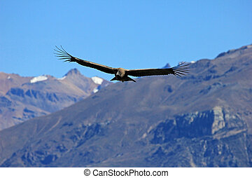 Male young condor flying over mountains