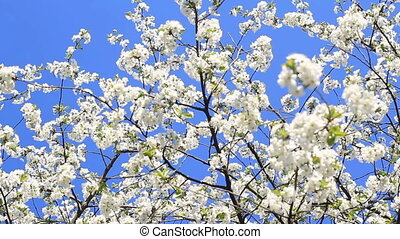 malen, vermalen, van, 3, schoten, kers bloesem boom