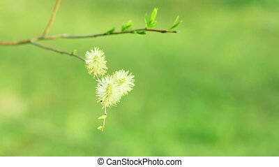 Males willow - Blooming willow against the bright green...