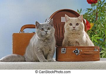 maleta, gatos, dos, británico, shorthair