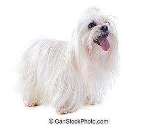 maletese dog - maltese dog in front of white background