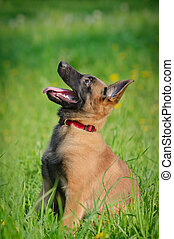 malinois puppy in field - malinois puppy sitting and looking...