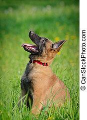 malinois puppy in field