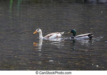 mallard and Domestic ducks