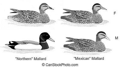 Mallard and Mexican Mallard