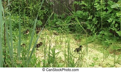 Mallard dDucklings in peatland calling and looking for mama ...