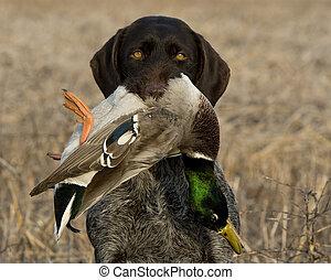 mallard, dog, eend
