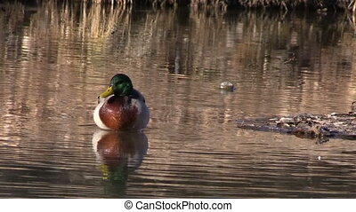 a drake mallard swimming on a pond