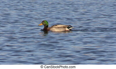 a drake mallard swimming across a lake