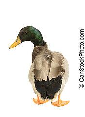 Mallard Duck, Anas platyrhynchos, isolated on white