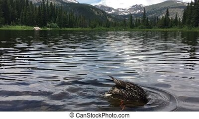 Mallard Duck at Lost Lake Colorado - Mallard Duck Female...