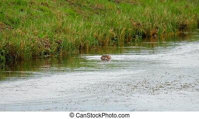 Mallard duck diving - Mallard Duck diving for food in pond