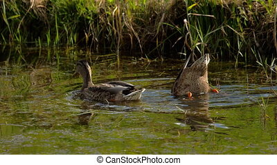 Mallard duck diving - Mallard Duck diving for food in pond