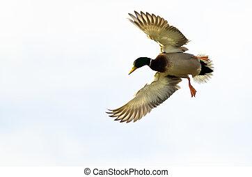 Mallard Duck Flying on a White Background