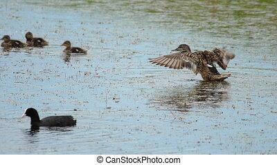 Mallard duck guard their duclings - Mallard Duck guard...