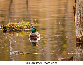 Mallard duck in the spring