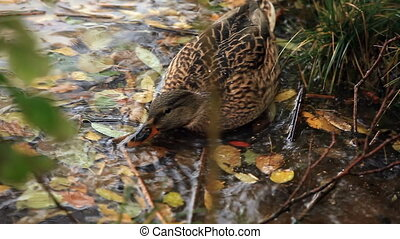 mallard duck in water among fallen leaves close to