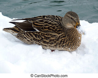 Mallard duck lying on the snow