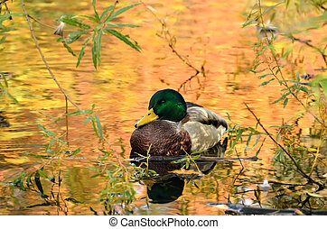 Mallard duck sitting on pond, the water in reflection of colorful autumn trees.