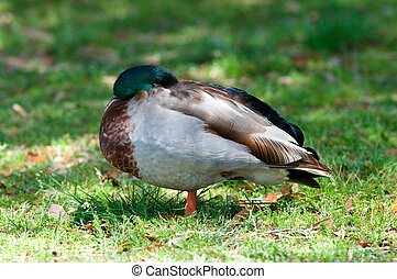 Mallard duck sleeping
