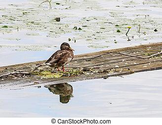 Mallard duck standing on a raft