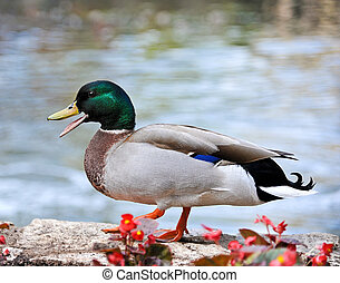 Mallard Duck Standing on Flower Bead Wall at the River