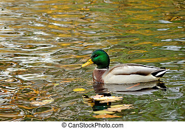 Mallard duck swims on the lake