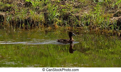 Mallard duck with ducklings - Mallard duck family on the...