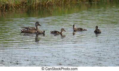 Mallard duck with ducklings - Mallard duck family on the...