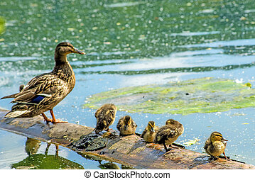 mallard duck with offspring