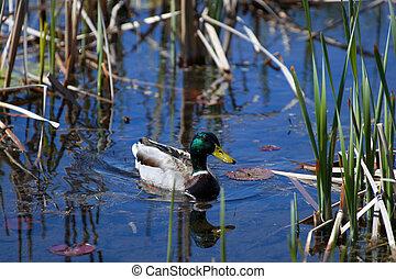 Mallard duck wondering in the pond