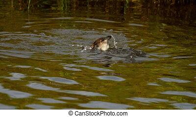 Mallard duckling swim and dive - Mallard duck family on the...
