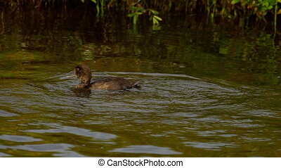 Mallard duckling swim and dive - Mallard duck family on the...