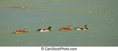 Mallard Ducks in Illinois Lake
