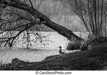 mallard ducks on a bank