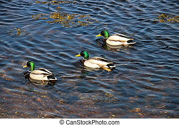 Mallard Ducks on a Coastal River Estuary