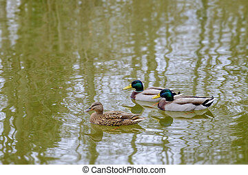 Mallard ducks on a lake