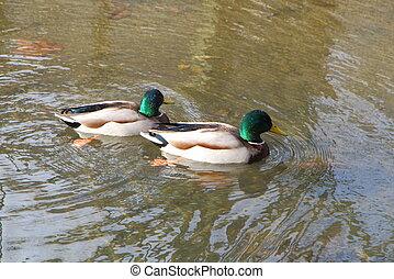 Mallard ducks on a river