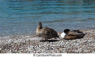 Mallard ducks on beach, female preening, male asleep
