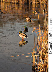 Mallard ducks on frozen pond