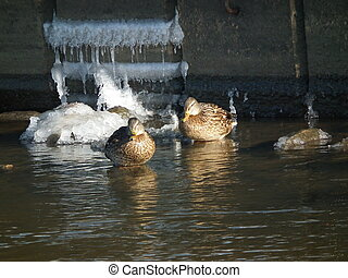 Mallard ducks resting on the water on the icy stream. river in the winter