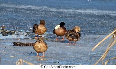 Mallard ducks stand on ice and clean their feathers (Anas platyrhynchos)