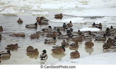 mallard ducks swim in water among ice and snow