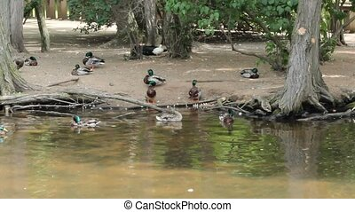 Mallard ducks swimming - A group of Mallard ducks around a...