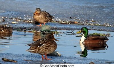 Mallard ducks wintering near open water (Anas platyrhynchos)